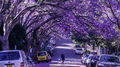 <p>The start of spring means Australians are enjoying warmer weather, plentiful watermelons, mangoes and the streets once again turning purple with Jacaranda trees in full bloom. (Instagram: @peeramaytha)</p><p><strong>Click through to see some of the best pictures of the beautiful trees from across the country.</strong></p>