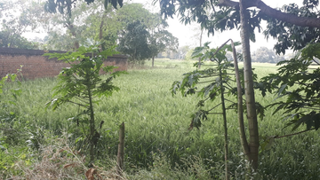 A field in Pakaria village.
