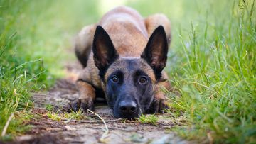 A Belgian Malinois (not the drowned dog) is a medium-size shepherd dog that at first glance can often resemble the more commonly known German Shepherd.