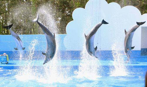 "Dolphins perform during a ""dolphin show"" at Niigata City Aquarium in Niigata on May 21, 2015."