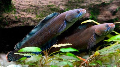 """A blue-coloured """"walking snakehead fish"""" which can breathe air, survive on land for four days and slither up to 400 metres on wet ground. (Henning Strack Hansen/WWF)"""