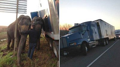 Video shows one of the two four-tonne creatures already standing with its head anchoring the trailer, while its companion cautiously exits the truck to help prop up the load.