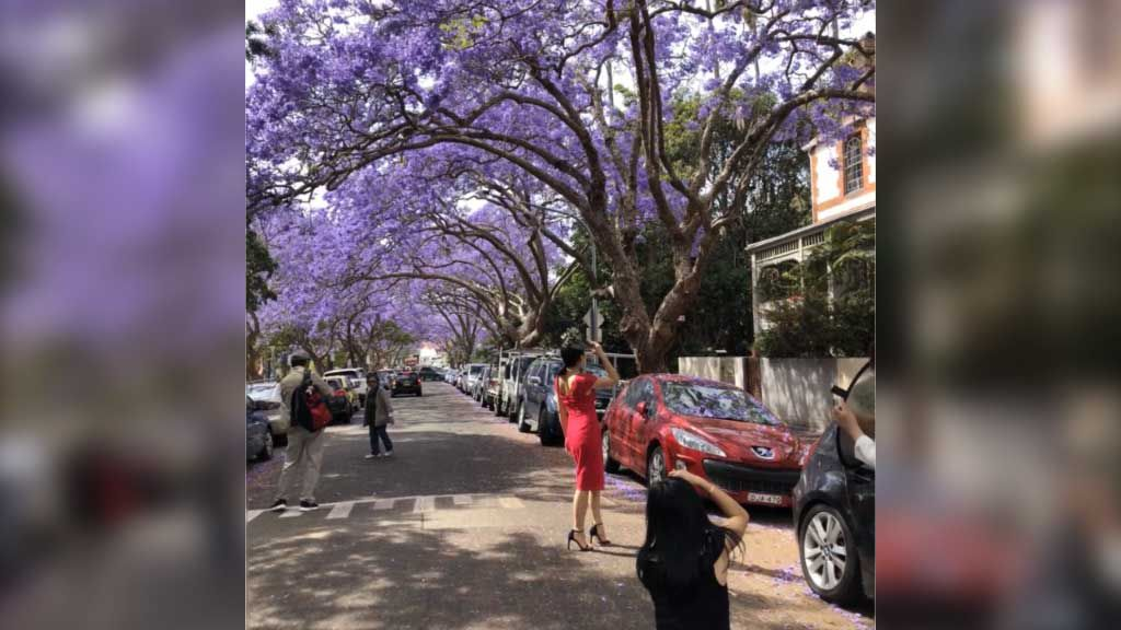 Sydney Jacaranda season has arrived