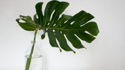 <strong>SINGLE MONSTERA LEAF</strong>