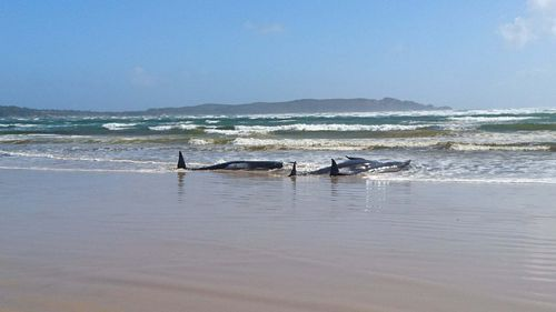 Some of the stranded whales marine conservationists are working to move.