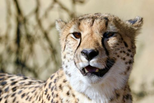 """Cheetahs are seen as a """"status symbol"""" for the wealthy and are coveted as exotic pets."""