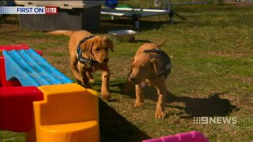 VIDEO: Labrador puppies latest recruits at the federal police academy