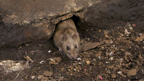 Rats taking over our cities as Melbourne council admits baiting failure