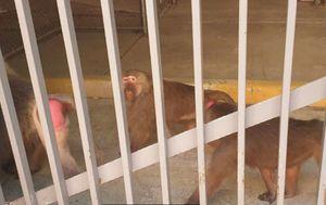 Escaped Sydney baboon finally has surgery