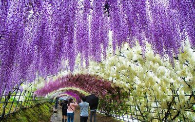 <strong>Wisteria Festival, Japan</strong>