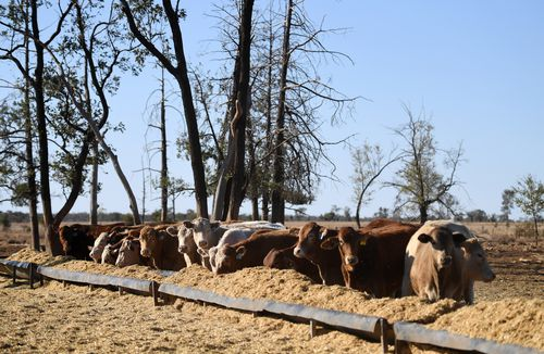 """Graziers in Queensland are being forced to """"de-stock' on cattle becuase there is not enough grain to feed them because of the harsh drought conditions."""