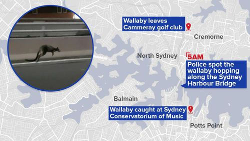 The wallaby's journey kicked off about 5am. (9NEWS)