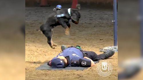 Poncho jumps into the air before jumping on his handler's chest. Picture: Twitter/Madrid Police