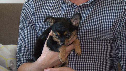 Raven the Chihuahua was rescued from a recliner.