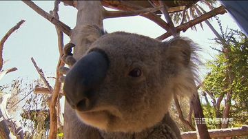 Meet the man responsible for keeping America's koalas alive