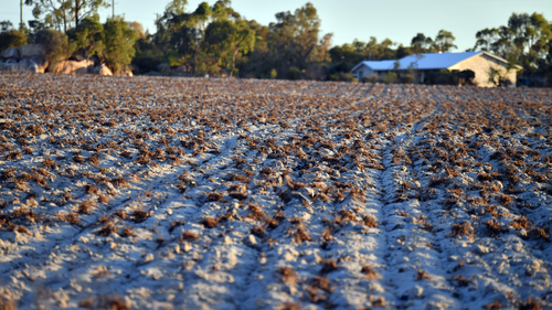 An abandoned field is seen in the drought ravaged town of Stanthorpe, 180km south west of Brisbane, earlier this month.