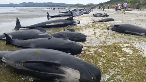 At estimated 650 pilot whales have beached themselves. (AFP)