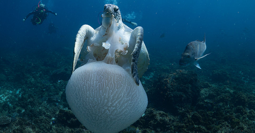 An unfortunate jellyfish is snapped up for dinner by a green turtle off Byron Bay. Turtles often mistake plastic bags for jellyfish.