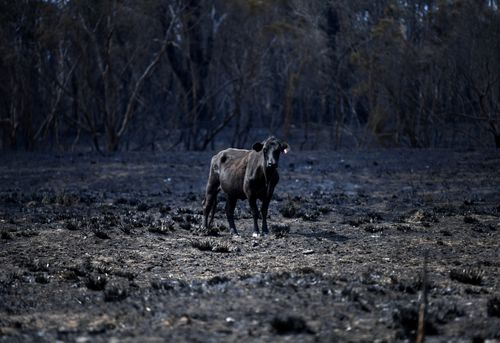 A cow stands in a burnt out field in Rappville, NSW, Thursday, October 10, 2019. Several properties were lost when an out-of-control bushfire swept through the northern NSW village. (AAP Image/Dan Peled) NO ARCHIVING