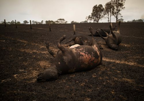 A number of cows lay dead after being killed during a bushfire in Coolagolite, NSW.