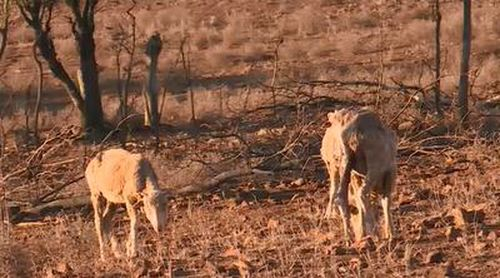 Farmers are losing livestock because they are unable to survive the harsh conditions. Image: 9NEWS.