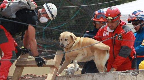 A rescue dog participates in the search of earthquake victims among the derbis of a building. (AAP)