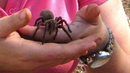 """""""I was taught a trick where you usually stick a pipe cleaner in there and wriggle it around behind the spider to cajole her out"""" - PhD student Sophie Harrison describes the process of identifying new spider breeds. (Supplied)"""