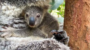 Eight months old, but Humphrey the koala has only just emerged