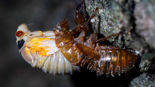 An adult cicada sheds its nymphal skin on the bark on an oak tree.