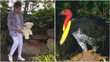 Soft toys are last defence from pesky bush turkeys