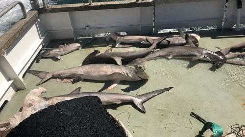 Pictured are hammerhead sharks killed by shark nets.