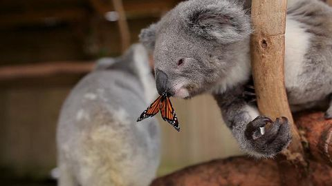Butterfly photobombs koala