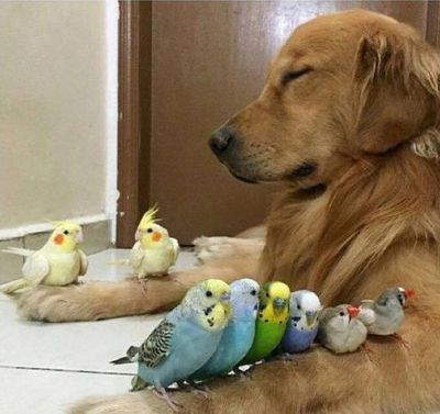 A Brazilian dog has attained social media stardom, after Instagram and Facebook accounts featuring photos of him hanging out with a flock of birds and one overweight hamster went viral. (Instagram/bob_goldenretriever)