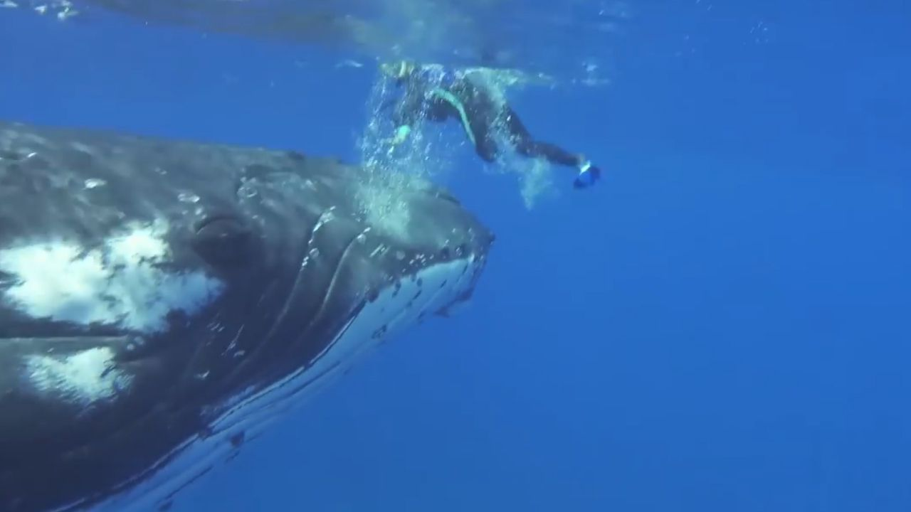 ME biologist says humpback whale protected her from shark