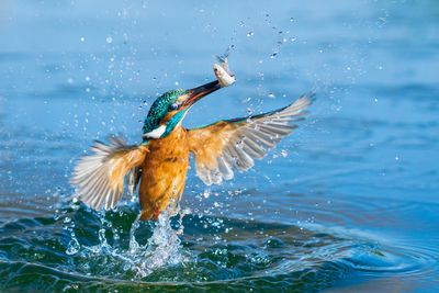 "<strong>Petar Sabol ""Kingfisher in action'</strong>"