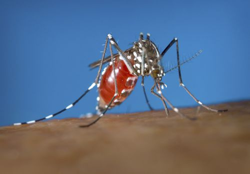This 2003 photo provided by the Centers for Disease Control and Prevention shows a female Aedes albopictus mosquito acquiring a blood meal from a human host. (James Gathany/Centers for Disease Control and Prevention)