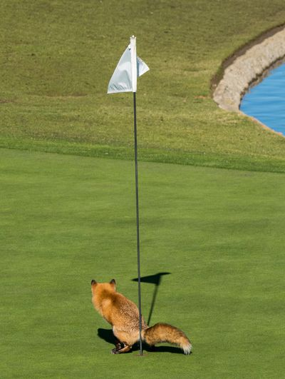 "<strong>Highly Commended: ""Must Have Three-Putted"" by Douglas Croft</strong>"
