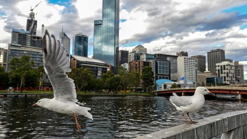 Seagulls lingering by the Yarra River in Melbourne. The Australian silver gull is in every state of the country, as well as the ACT.