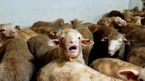 Thousands of sheep died of heat stress on a voyage to the Middle East last year.