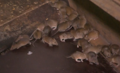 A mouse plague in western NSW is decimating crops, destroying livelihoods and leaving some businesses at breaking point.