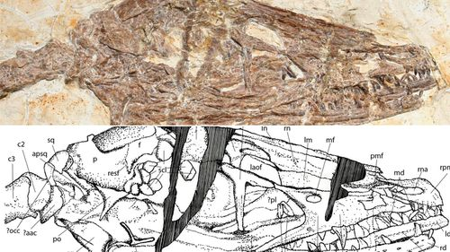 A closer look at the skull of the Wulong bohaiensis, or 'dancing dragon', along with a detailed drawing.