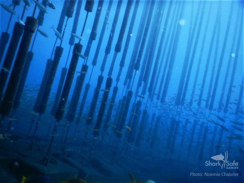 The pipes float in the ocean, replicating a kelp forest. Mike Rutzen noted how great white sharks in South Africa would not enter kelp forests to chase a seal.