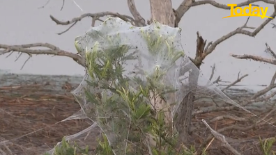 The spiders have spun webs to escape floodwaters after wild weather.