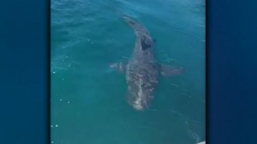 A shark expert believes the four metre long sharks were Bronze Whalers and could have taken a chunk out of Rowan Lewis' inflatable boat.