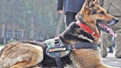 Romania to change law to save Afghanistan 'hero dog'