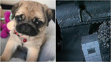 Coco, an eight-month-old puppy, was killed during an alleged break-in in the Perth suburb of Spearwood over the weekend.
