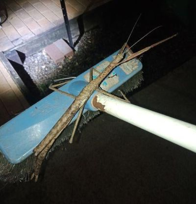 Hefty stick insect