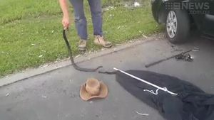 Snake-catcher pulls red-bellied black out from behind car tyre