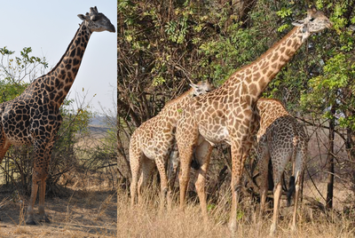 Male giraffes turn black as they age, not grey