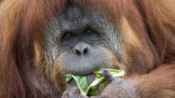 The now-expecting orangutan Karta. (AAP)